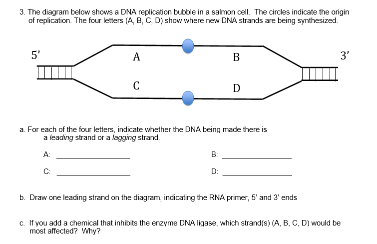 Solved the diagram below shows a dna replication bubble i the diagram below shows a dna replication bubble in a salmon cell the ccuart Gallery