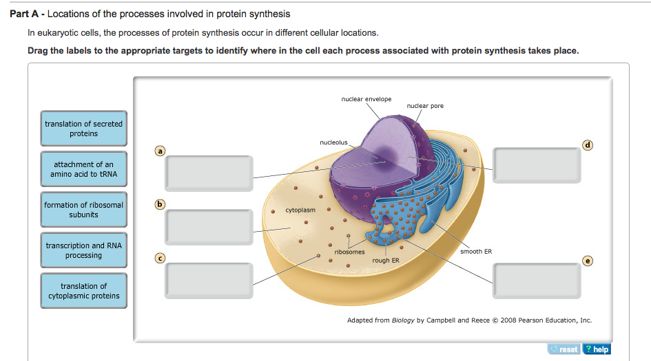 what part of the cell is responsible for protein synthesis