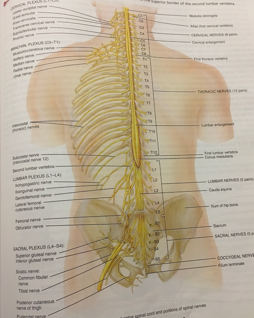 Identified By The Structure Of Each. (Meninges , S... | Chegg.com