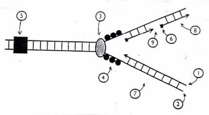 Solved below is a diagram of a dna replication fork in e question below is a diagram of a dna replication fork in e coli answer the following questions relating ccuart Gallery