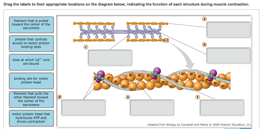 Solved Structure Of The Sarcomere The Thin Filaments And