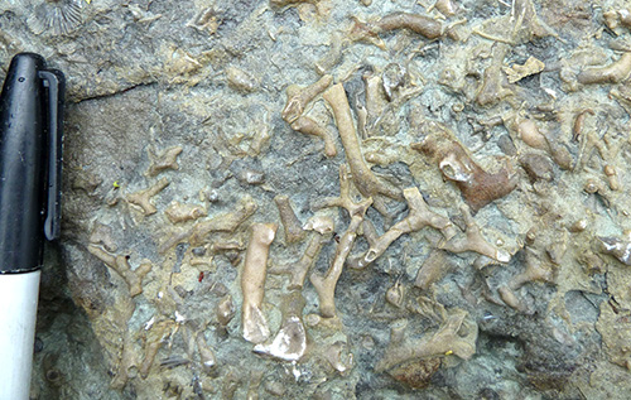 Solved: What Type Of Fossil Is Shown In Specimen 2? Rugose