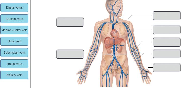 Solved: Digital Veins Brachial Vein Median Cubital Vein Ul ...