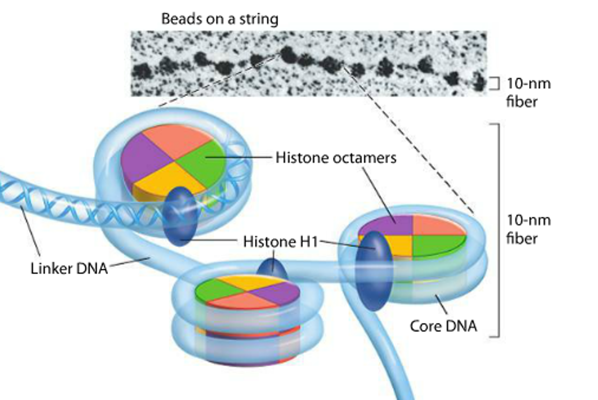 solved  above is a form of chromatin often referred to as