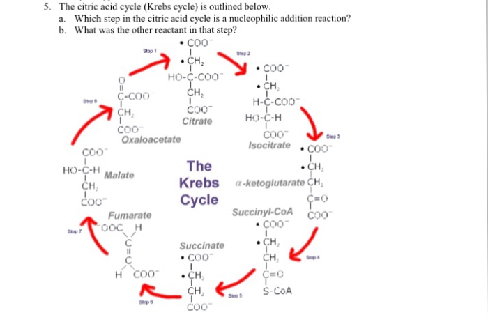Solved 5 The Citric Acid Cycle Krebs Cycle Is Outlined