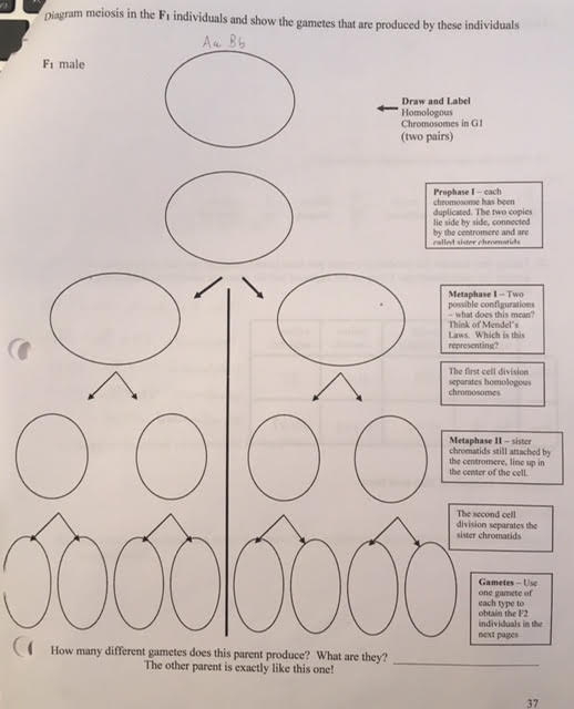 Solved diagram meiosis in the fi individuals and show the diagram meiosis in the fi individuals and show the gametes tht are produced by these individuals ccuart Choice Image