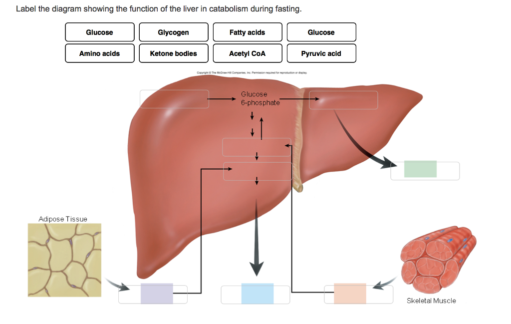 Solved label the diagram showing the function of the live label the diagram showing the function of the liver in catabolism during fasting glucose glycogen ccuart Gallery
