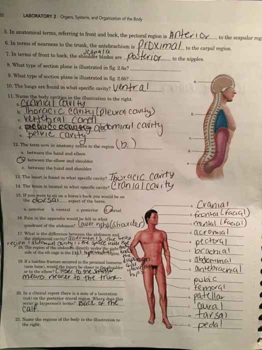 Solved Lab Report On Organs Systems And Organization Of