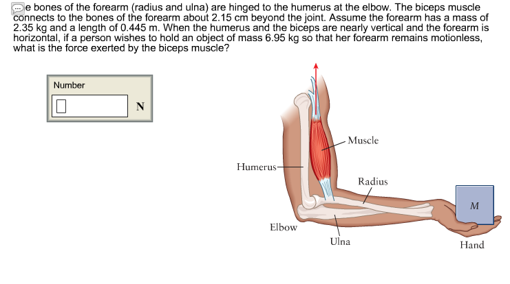 Solved: The Bones Of The Forearm (radius And Ulna) Are Hin ...