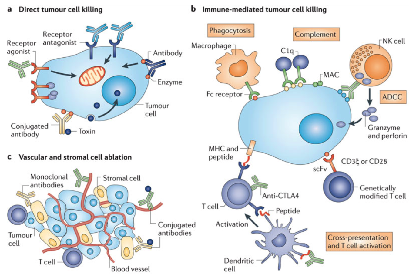 receptor activator of nk b for tumor cells Tumor cell detection results in activation of nk cells and consequent  enables  antigen-specific t and b cell responses instead of acting via antigen-specific  receptors, lysis of tumor cells by nk cells is.