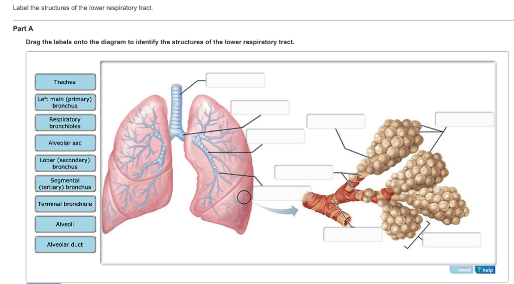 Solved Label The Structures Of The Lower Respiratory Trac
