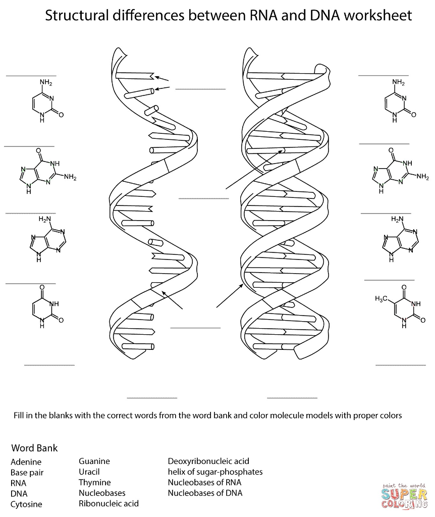 Solved structural differences between rna and dna workshe structural differences between rna and dna worksheet nh2 nh nh nh nh h 2n h3c ccuart Choice Image