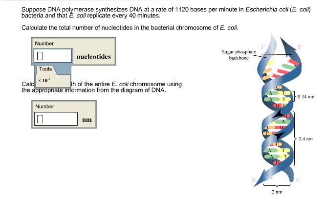 Solved suppose dna polymerase synthesizes dna at a rate o image for suppose dna polymerase synthesizes dna at a rate of 1120 bases per minute in ccuart Image collections