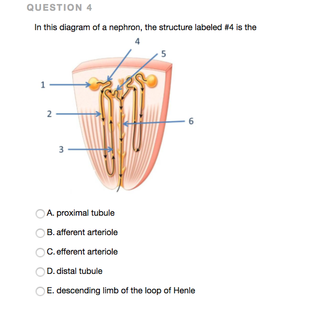 Solved Question 4 In This Diagram Of A Nephron The Struc