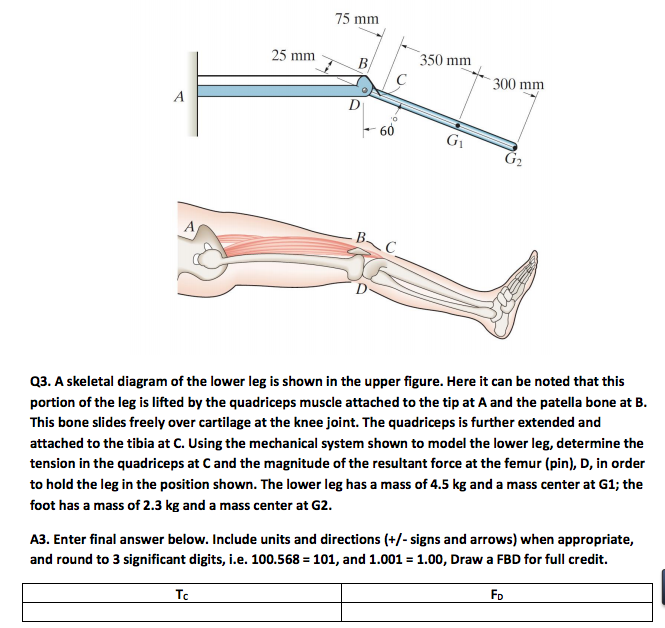 A Skeletal Diagram Of The Lower Leg Is Shown - Enthusiast Wiring ...