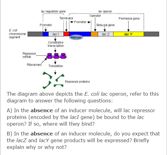 Solved The Diagram Above Depicts The E Coli Lac Operon