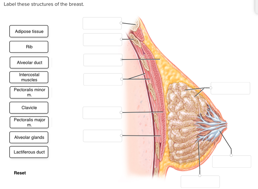 Solved: Label These Structures Of The Breast. Adipose Tiss ...