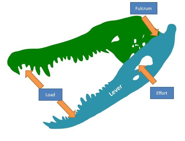 Solved Below Is A Diagram Of An Alligator Skull Effort