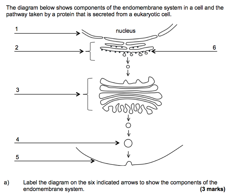 Solved the diagram below shows components of the endomemb question the diagram below shows components of the endomembrane system in a cell and the pathway taken by sciox Image collections