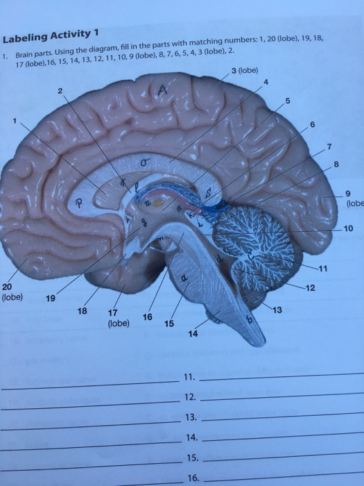 Brain Parts Using The Diagram, Fill In The Parts W