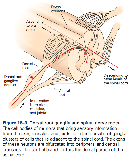 Solved: . Briefly Describe The Role Of Dorsal Root Neurons ...