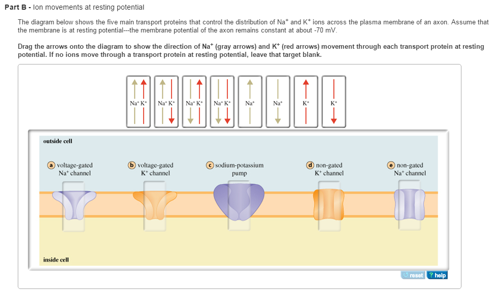Solved ion movements at resting potential the diagram bel ion movements at resting potential the diagram be ccuart Images