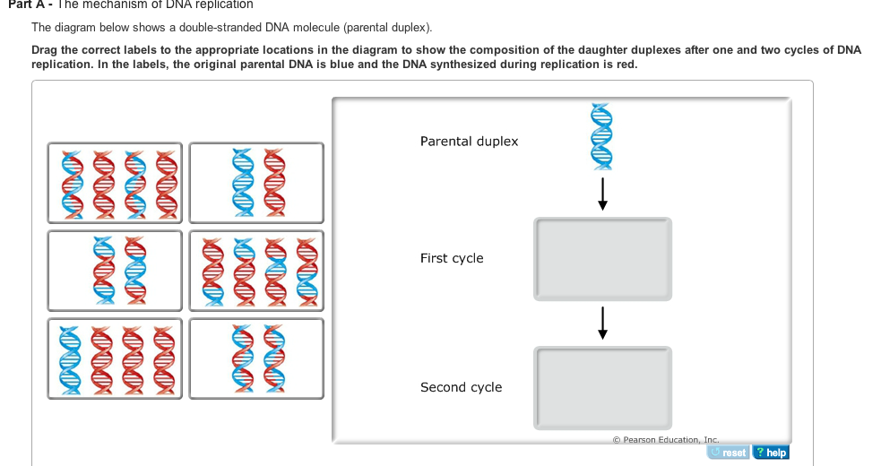 dna replication is the mechanism by which dna is c com best answer