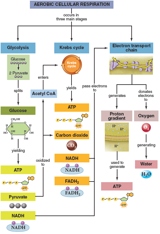 Solved 1 what type of energy is stored in chemicals ap how do the products of glycolysis and krebs cycle relate to the electron transport chain ccuart Images