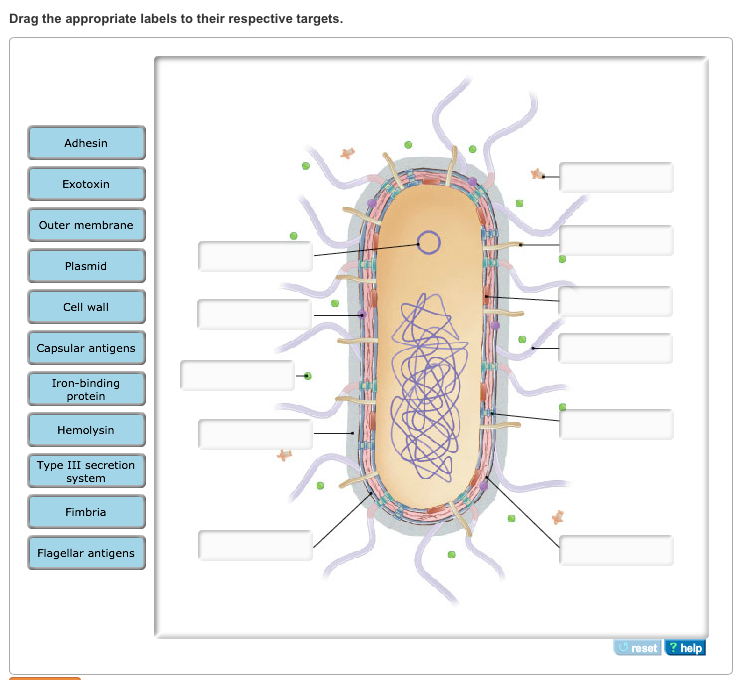 Solved: Label The Drawing Of An Enteric Bacterium With The