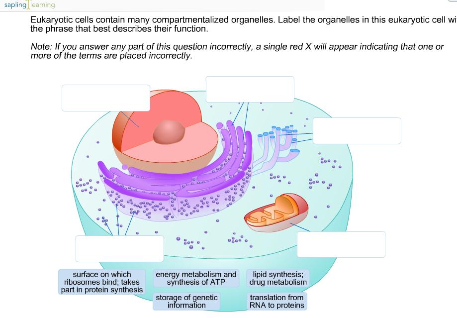 media%2Fa5f%2Fa5f9b24c 253f 486c 93dc 44ab89961989%2FphpePnBXQ solved sapling earning eukaryotic cells contain many comp
