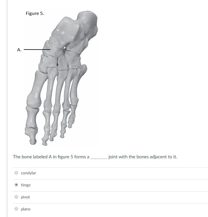 Solved Figure 5 A The Bone Labeled A In Figure 5 Forms A