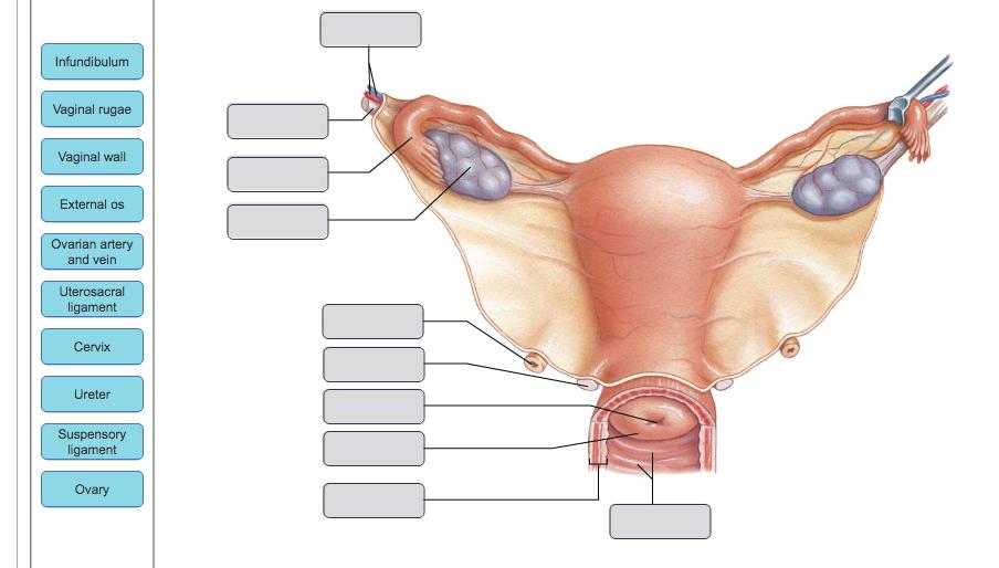 Solved: Infundibulum Vaginal Rugae Vaginal Wall External O ...