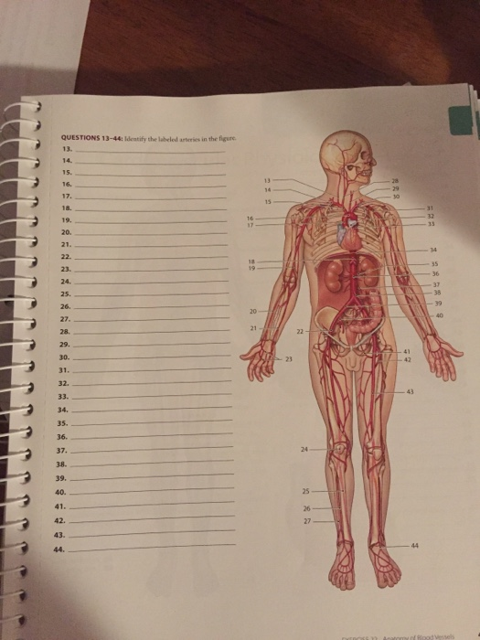 Solved Identify The Labeled Arteries In The Figure Chegg