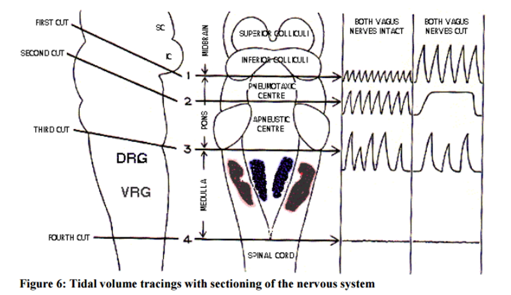 Solved Cutting The Vagal Nerves Now Leaves The Apneustic
