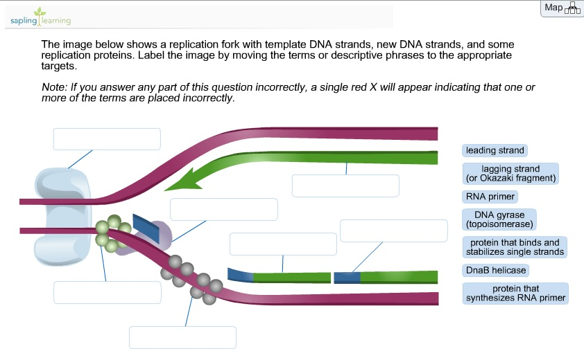 Labeled Diagram Of A Dna Template Strand Diy Enthusiasts Wiring