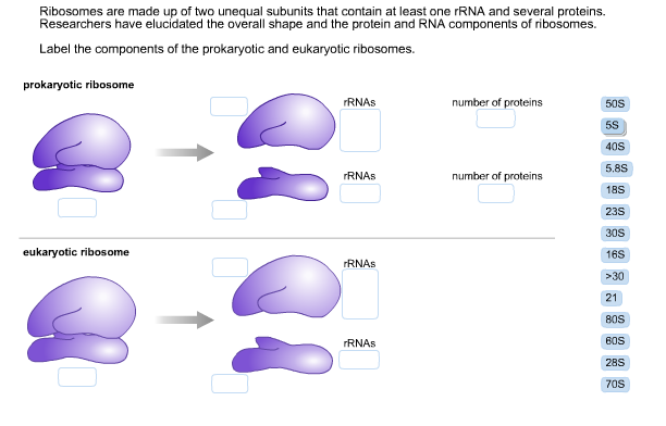 Solved Ribosomes Are Made Up Of Two Unequal Subunits That