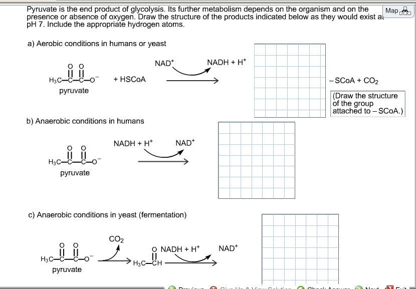 glycolysis pyruvate end its metabolism draw depends structure ph atoms hydrogen oxygen absence further appropriate indicated organism presence include reaction