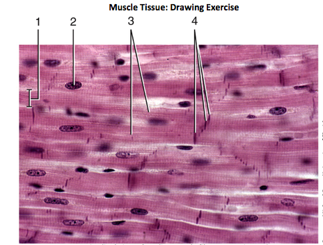 Muscle Tissue Drawing