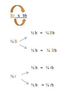 How To Do A Dihybrid Cross - sharedoc