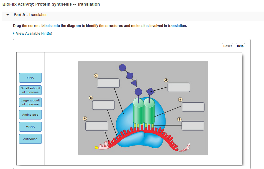 Solved: BioFlix Activity: Protein Synthesis -Translation P ...