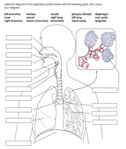 Solved label the diagram of the respiratory system below label the diagram of the respiratory system below with the following parts then colour your ccuart