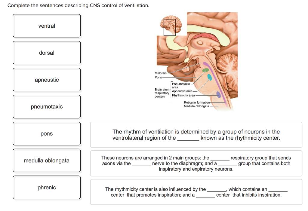 Solved Complete The Sentences Describing Cns Control Of V