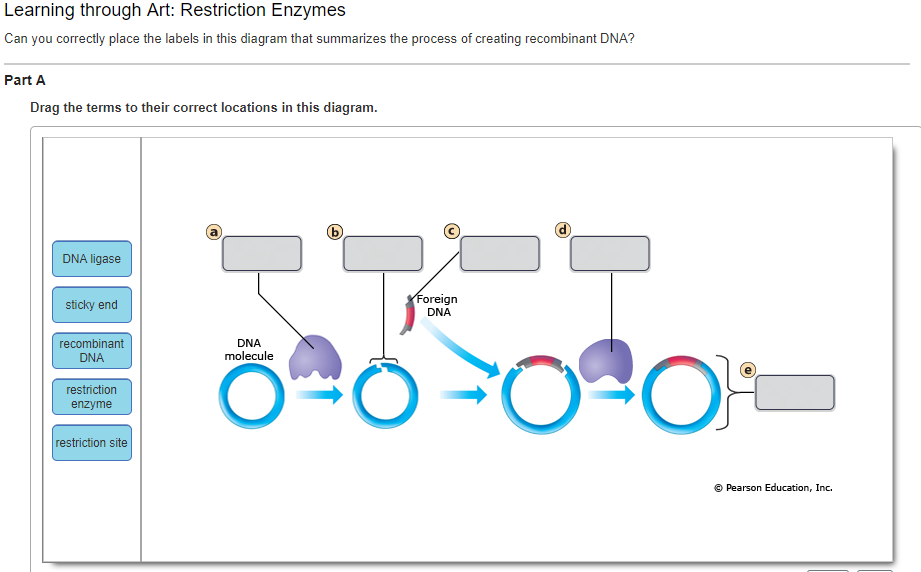 Solved can you correctly place the labels in this diagram learning through art restriction enzymes can you corectly place the labels in this diagram that ccuart Choice Image