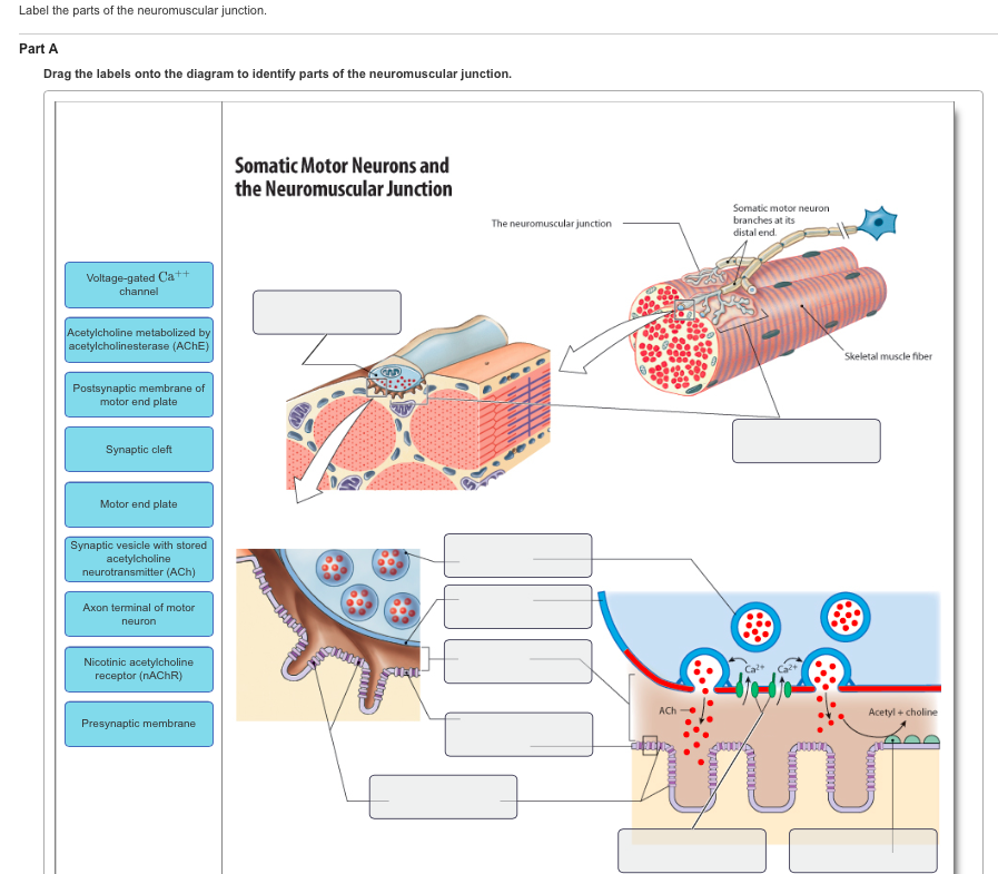 Solved Label The Parts Of The Neuromuscular Junction Dra