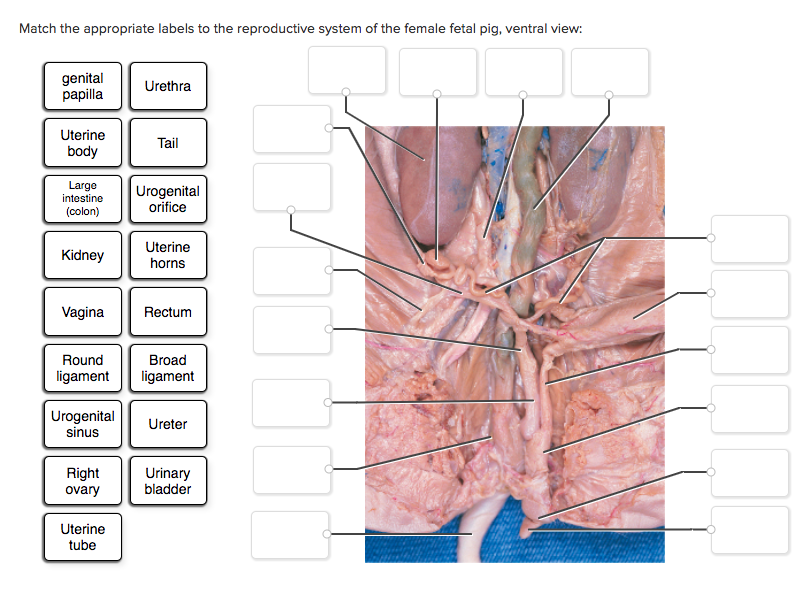 Fetal Pig Female Reproductive System Diagram Block And Schematic