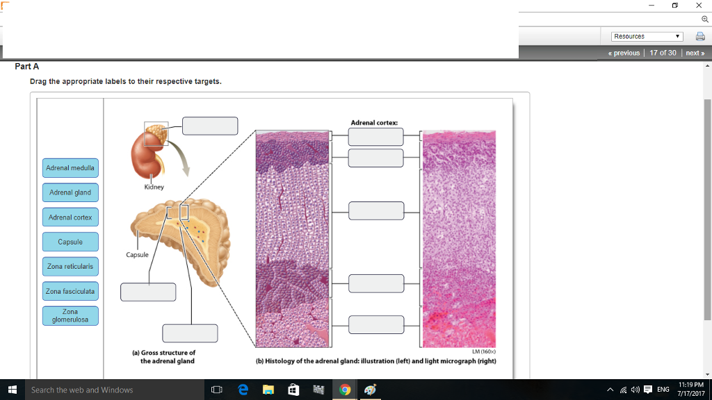 Solved: Art-Labeling Activity: Anatomy And Histology Of Th ...