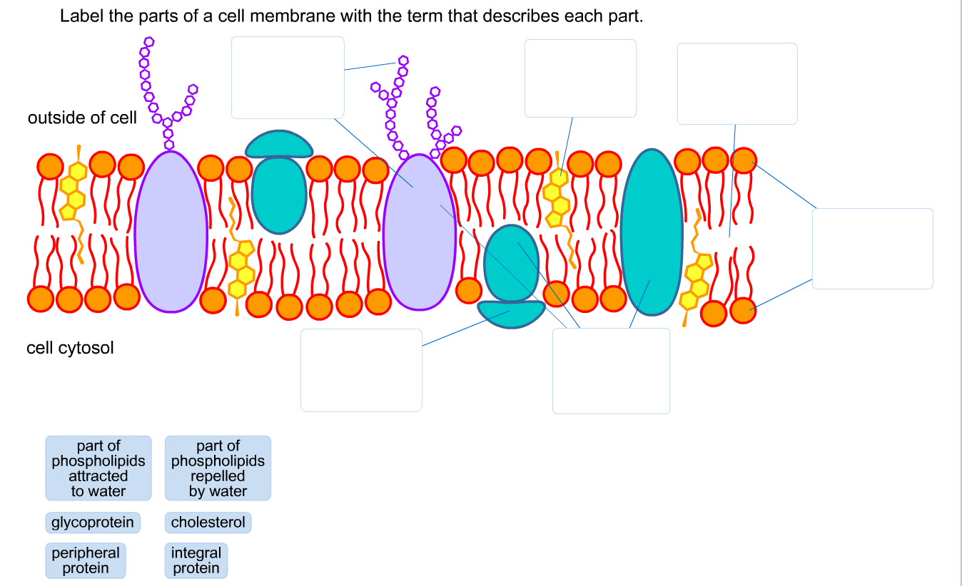 Solved: Label The Parts Of A Cell Membrane With The Term T ...