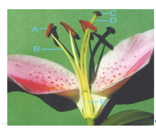 Solved Question 10 In The Lily Flower Picture On The Last
