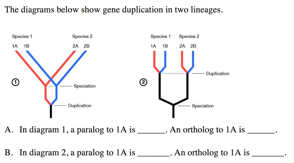 the diagrams below show gene duplication in two lineages  species 1 species  2 species 1