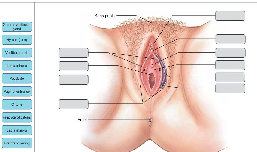 Solved: Mons Pubis Greater Vestibular Gland Hymen (torn) V ...